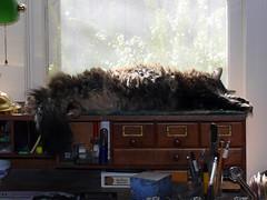 A Sunny Fluffy Snooze (Glenn Harris (Clintriter)) Tags: sleeping pet cats sun cute window desk fluffy tortoiseshell snooze tortie maxine velvetpaws yourbestshot catmoments catnipaddicts