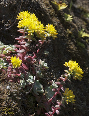 Stonecrop (KGHofSF) Tags: california flower nature water yellow rock photography photo waterfall spring marin hike falls crassulaceae wildflower sedum stonecrop broadleaf carsonfalls sedumspathulifolium kghofsf