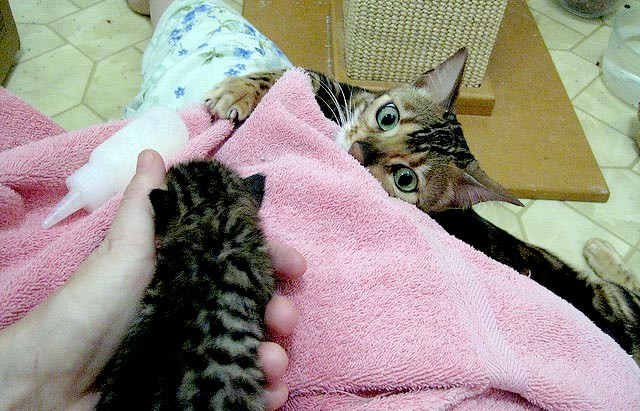cute bengal cat mama watching baby