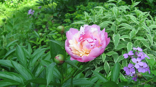Double peony with Dames' Rocket