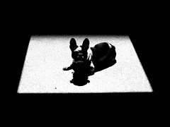 nanetta black & white (Sara Fasullo) Tags: bw dog ombra frenchie frenchbulldog livorno bianconero luce ubik cahen bouledogue