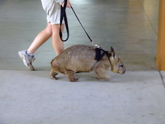 I'm Justa Walking the Wombat! (End of Level Boss) Tags: funny australia qld queensland unusual leash wombat australiazoo 2007 beerwah