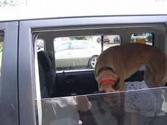 7-1 009 (Jazz the greyhound) Tags: greyhound brood gur