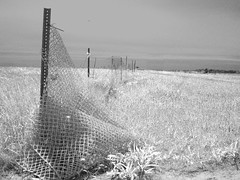daisy faux infrared 1 (mtcspike) Tags: grass fence landscape island blackwhite horizon nantucket daisy fauxinfrared