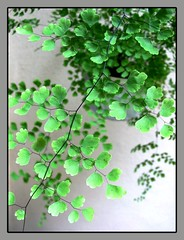 Delicate leaflets of Southern Maidenhair Fern