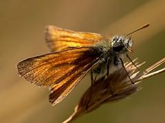 draycote meadows 27072007-11 (Walwyn) Tags: butterfly insect skipper lepidoptera thymelicussylvestris walwyn draycotemeadows