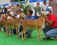 Pelibuey ewes in Mexico