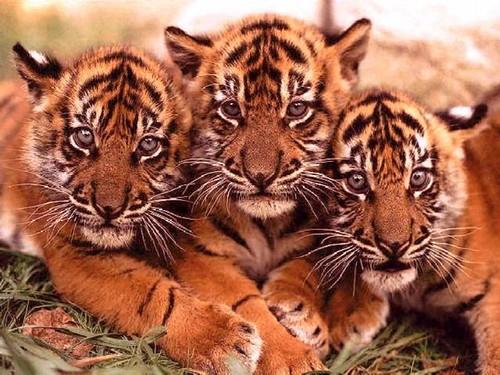 tigre_011