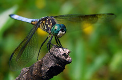 Blue Dasher, Male (Furryscaly) Tags: blue summer macro male green face animal closeup bug insect wings pond md eyes dof dragonfly turquoise teal wildlife wing maryland depthoffield urbanwildlife perched landed animalia arthropoda membrane bluegreen invertebrate dasher arthropod odonata libellulidae bugeyed greenblue insecta anisoptera pachydiplax longipennis bluedasher pachydiplaxlongipennis hexapoda pterygota compoundeyes bluepirate epiprocta swiftlongwingedskimmer multifacetedeyes taxonomy:class=insecta taxonomy:kingdom=animalia taxonomy:order=odonata taxonomy:family=libellulidae taxonomy:phylum=arthropoda taxonomy:genus=pachydiplax wingmembrane paleoptera taxonomy:binomial=pachydiplaxlongipennis taxonomy:common=bluedasher