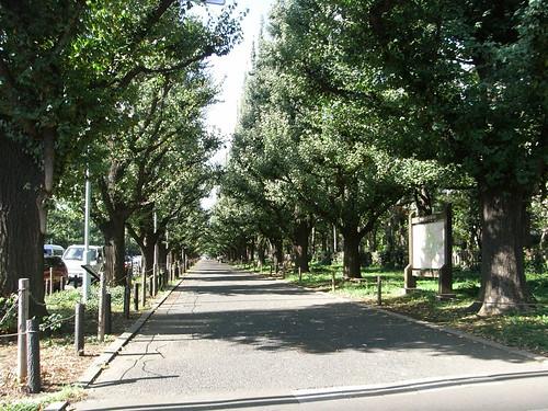 例のいちょう並木道