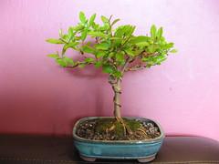 dwarf pomegranate (cskk) Tags: dwarf pomegranate bonsai punicagranatum