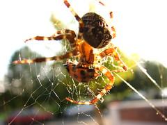 A ladybug for dinner (fdecomite) Tags: bug spider feeding eating web cobweb transparency araigne coccinelle repas translucid laybug