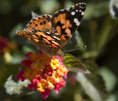 Painted Lady (timloco) Tags: butterfly paintedlady vanessacardui csutrialgarden
