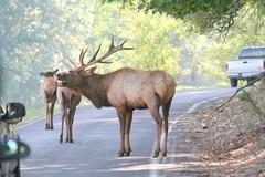 Elk 2007_0930 _ (Cindy シンデイー) Tags: park stlouis mo missouri lone elk loneelkpark