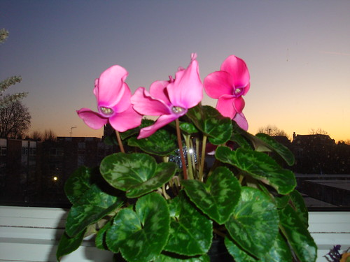 Cyclamens at dawn-4
