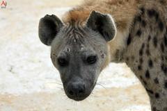 Hyènes (Automartinez) Tags: chien nature canon eos lion du animaux scare vendee alban puy fou gros cri rire carnivores roi afrique 500d joachin savane hyaenidae subsaharienne 55250mm hyènes hyénidés