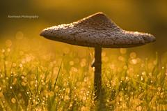 Golden mushroom (Rawlways) Tags: asturias amanecer seta rosada piloa mariogames champindorado