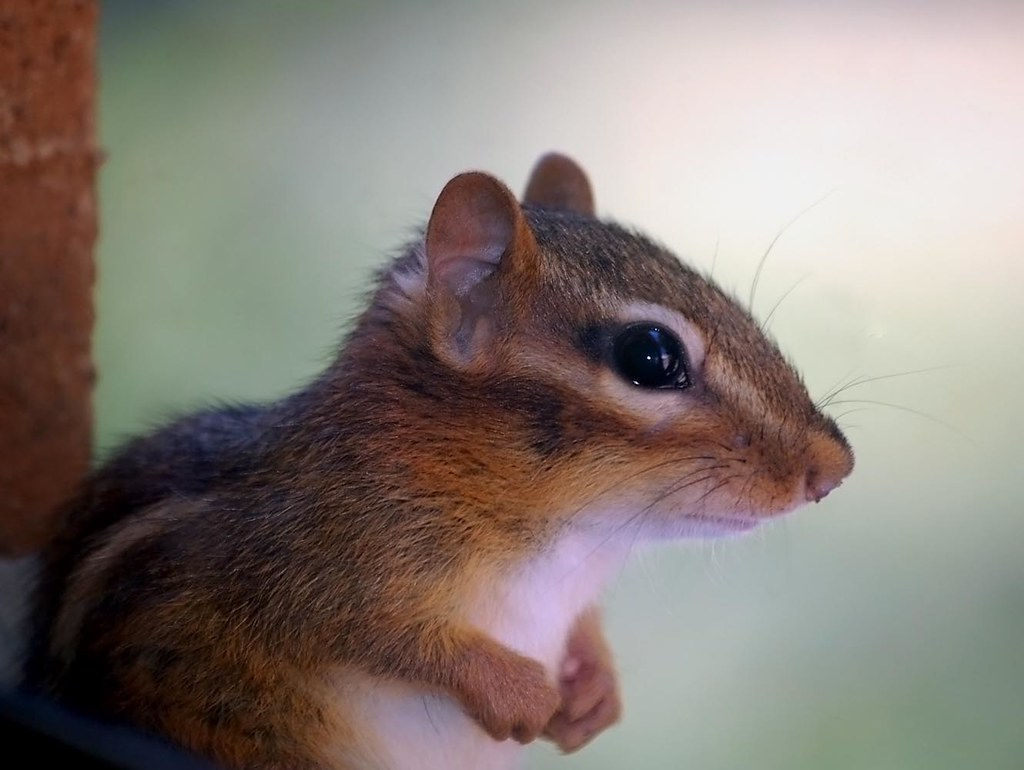 Chipmunk in the window