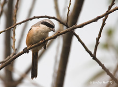Long Tailed Shrike (www.sandeepmall.com) Tags: india birds avians laniusschach longtailedshrike laniidae canoneos50d rufousbackedshrike okhlabirdsanctuary sandeepmall sandsminoo canon600f4
