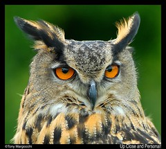 Eagle Owl-Up Close and Personal!!.jpg (Tony Margiocchi (Snapperz)) Tags: bird nature eagle wildlife feathers sigma raptor owl hunter avian upcloseandpersonal eagleowl parkstock nikond200 margiocchi sigma120300f28 onlythebestare covetingphotography