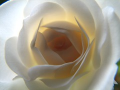 White Rose Interior - by audreyjm529