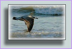 sea wings (Norman Atkinson) Tags: seagulls eye beach nature beauty is needed photographer no group icon class diamond invite flicker beholder limits the westbeach my mywinners winnerstrophy avianexcellence httpflickrcomgroupsgoldenphotographerdiscuss72157594572112372page3