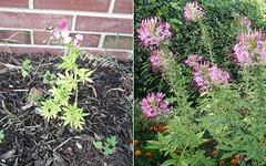 Cleome Comparison (crochety) Tags: flower spider gardening cleome