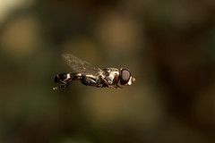 There's only one thing stops a hoverfly in mid flight.. Male hoverfly Syritta pipiens (Lord V) Tags: macro eye nature animal bug insect bravo bestof quality flight hoverfly insecte watcher pipiens blueribbonwinner supershot magicdonkey syritta ewwwwwwwww specanimal mywinners anawesomeshot impressedbeauty specinsect superbmasterpiece fiveflickrfavs macrolife unbelievableimages alemdagqualityonlyclub macrosamazeme flickrhivemindgroup peregrino27newvision highqualityanimals