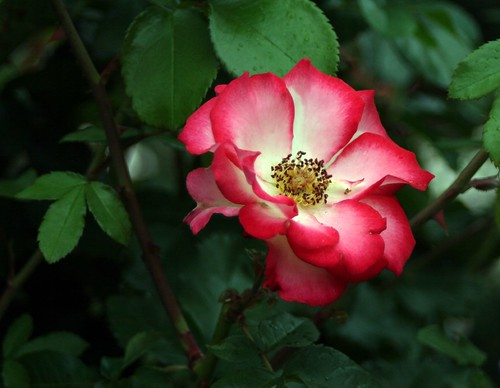 oregon_rosegarden14