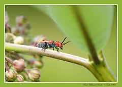Walking the Plank? (Momba (Trish)) Tags: red macro green nature insect interestingness weed nikon tennessee beetle explore nikkor milkweed soe momba redmilkweedbeetle nikond200 i500 interestingness463 outstandingshots specnature diamondclassphotographer ysplix awesomebug explore11august2007