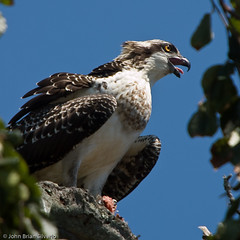 Osprey @ Bayard Cutting Arboretum - by Silverph (should I be active on Flickr again?)
