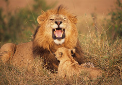 Smile!! (Lyndon Firman) Tags: africa nikon kenya safari velvia bbc f80 notch masaimara naturesfinest supershot specanimal bigcatdiary bigcatweek abigfave superhearts marshpride bilashaka