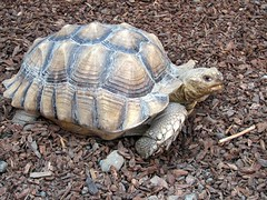 African Spurred Tortoise by Just chaos, on Flickr