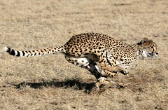 GHEPARDO DI CORSA. (peo pea) Tags: africa nature animals cat bush wildlife natura run safari felino cheetah namibia gatto animali animale velocit corsa ghepardi savana naturalmente 10faves wildafrica ghepardo aplusphoto naturewatcher peopea wwfita fotografiitaliani
