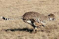 GHEPARDO DI CORSA. (peo pea) Tags: africa nature animals cat bush wildlife natura run safari felino cheetah namibia gatto animali animale velocit corsa ghepardi savana naturalmente 10faves wildafrica ghepardo aplusphoto naturewatcher peopea wwfita fotografiitaliani