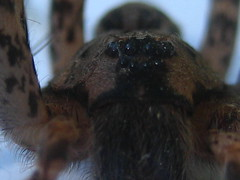 BOO! (Well Wisher) Tags: hairy brown spider scary arachnid creepy ugly eightlegs longlegs coollooking eighteyes doesyourspiderbite