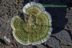 mushroom ogmore feb 2010 (mikek666) Tags: mushroom cogumelo seta mantar hongo paddestoel pilz fong fungo bolet onddo μανιτάρι μύκητασ μύκησ