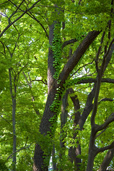 Trees In Spring (aeschylus18917) Tags: trees tree green nature leaves japan season leaf spring nikon branch seasons ivy  verdant saitama hedera climbingplant treee saitamaken 80400mm koma  iruma 80400mmf4556dvr motokaji apiales araliaceae  saitamaprefecture irumashi asterids   d700 80400mmf4556vr  aralioideae danielruyle aeschylus18917 danruyle druyle    hann hannshi