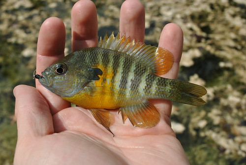 Blue Gill On The Fly October 2010