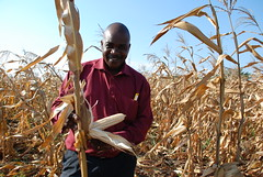 Collaboration in Tanzania: Tanseed chief inspects performance of TAN 250 maize under heavy drought (CIMMYT) Tags: africa plant man planta field tanzania corn farm african farming crop drought impact ear
