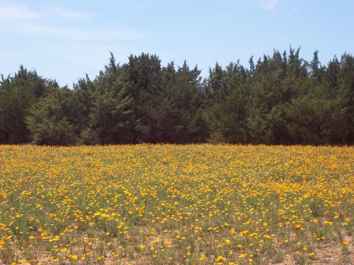 field of orange blooms