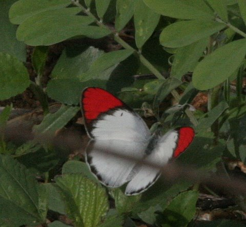 Un id butterfly