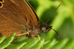 """Ringlet Butterfly (Aphantopus hyperan(5) • <a style=""""font-size:0.8em;"""" href=""""http://www.flickr.com/photos/57024565@N00/591761317/"""" target=""""_blank"""">View on Flickr</a>"""