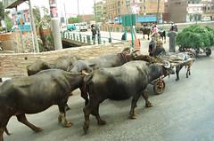 Yunta (:::wendy:::) Tags: rural egypt bull cairo campo egipto toro buey yunta