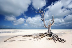 Lone Tree on Eleuthera/Bahamas (photos_mweber) Tags: eleuthera lonetreebahamas