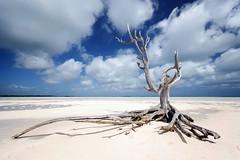 Lone Tree on Eleuthera/Bahamas - tree bahamas eleuthera lone lonetreebahamas