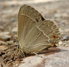 Purple Hairstreak - Quercusia quercus (Camerar) Tags: butterfly blues insects greece buttterflies hairstreaks purplehairstreak quercusiaquercus