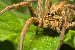 Wolf Spider series 1-3 (Dalantech) Tags: macro nature canon insect spider wolfspider mpe65 xti macromarvels dalantech johnkimbler