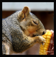 """Dear Lord...thank you for this corn I am about to receive"" (electra-cute) Tags: garden corn squirrel blindphotographers"