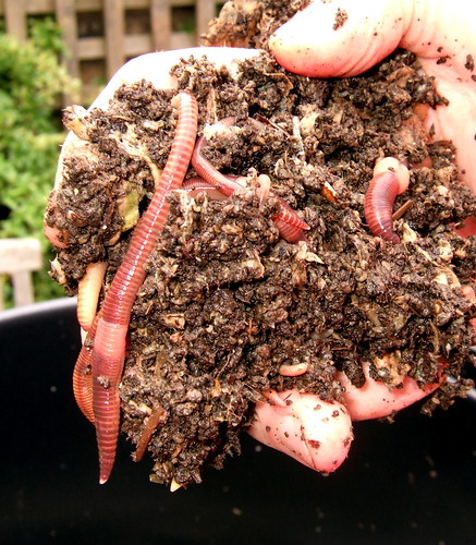 Dendrobena worms from my worm bin